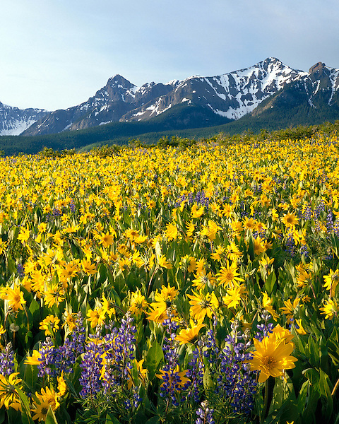 Sunflowers and Lupine with the Sneffels Range, San Juan Mountains, Colorado, USA. John guides custom photo tours in the Sneffels Range and throughout Colorado.