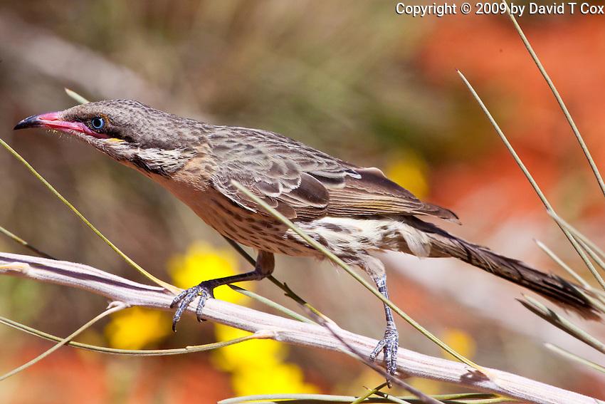 Spiny-Cheeked Honeyeater, Alice Springs Desert Park, NT, Australia