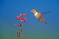 Rufous Hummingbird (Selasphorus rufous) female or immature necturing on flower (wild mint).  Pacific Northwest.