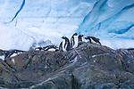 Gentto Penguins, Foyn Harbor