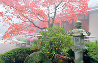 Fall colored japanes maple tree with fog and chrysanthemums and lantern. Portland Japanese Gardens, Oregon