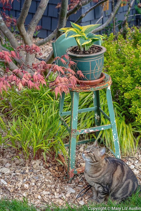 Vashon-Maury Island, WA: Hosta planter on painted highchair  with Tabby cat under a Japanese Maple 'Kasagi yama'