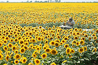 A beekeeper of the Marais Poitevin area inspects his beehives in a sunflower field spreading to the horizon. This rich sedimentary, clayish water retaining soil is perfect for this crop. On good years, sunflower honey production can yield up to 80 kilograms per beehive.