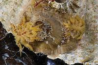 Knotige Asselspinne, frisst, saugt an einer Anemone, Pycnogonum littorale, Pycnogonum litorale, sea spider, Pycnogonid sea spider, Anemone sea spider, Asselspinnen, Pycnogonida, Pantopoda, sea spiders