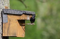 Star, am Nistkasten, Starenkasten, mardersicherer Nistkasten, Sturnus vulgaris, European starling, L'étourneau sansonnet