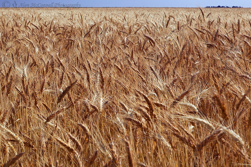 The morning light makes a wheat field in the plains of Colorado glow.