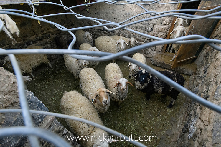 Sheep / domestic stock pen / corral covered with chain-mail to protect against attacks from snow leopards (Panthera uncia). This has cut predation of domestic animals by 90%. Spiti Valley, Himalayas, Himachal Pradesh, northern India.