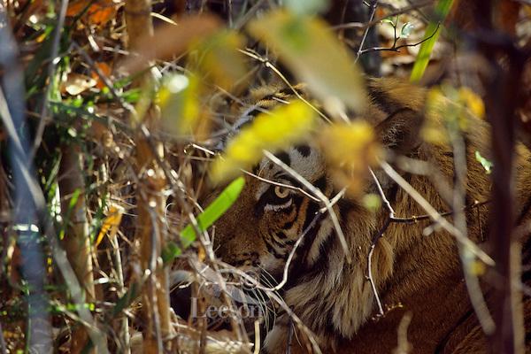 Bengal Tiger (Panthera tigris tigris) hidden by brush, Bandhavgarh National Park, India.