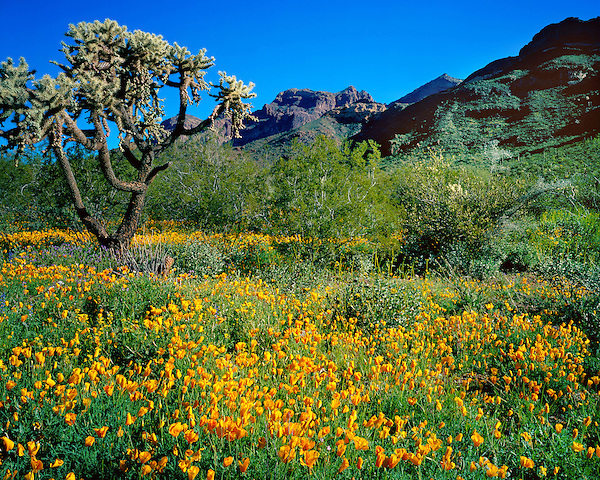 Golden Ajo Poppies and the Ajo Mountains, Organ Pipe Cactus National Monument, southern Arizona, USA. .  John offers private photo tours in Arizona and and Colorado. Year-round.