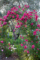 Large Flowered Climbing Rose (Rosa ) 'Shadow Dancer' on trellis arch by olive tree in California Napa country garden
