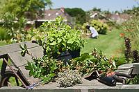 Europe/France/Ile-de-France/75012/Paris: Récolte des Plantes médecinales- Jardin de l'Ecole du Breuil dans le Bois de Vincennes