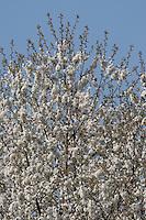 Kulturpflaume, Pflaume, Zwetsche, Zwetschge, Obst, Obstbaum, Blüten, Prunus domestica, Plum