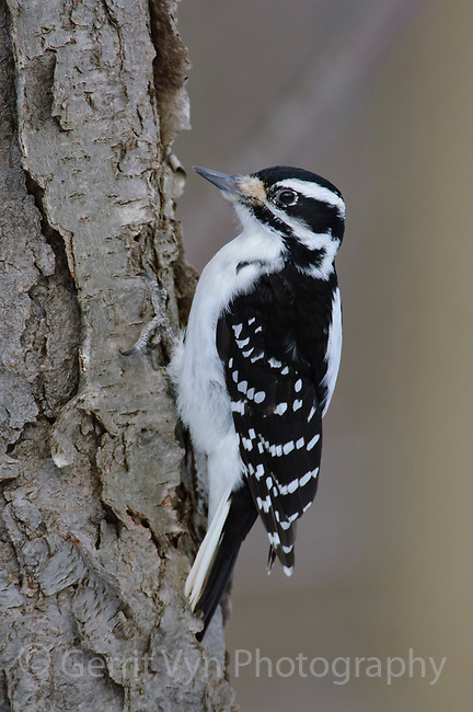 Adult female Hairy Woodpecker (Picoides villosus) on a cherry tree. Tompkins County, New York. February.