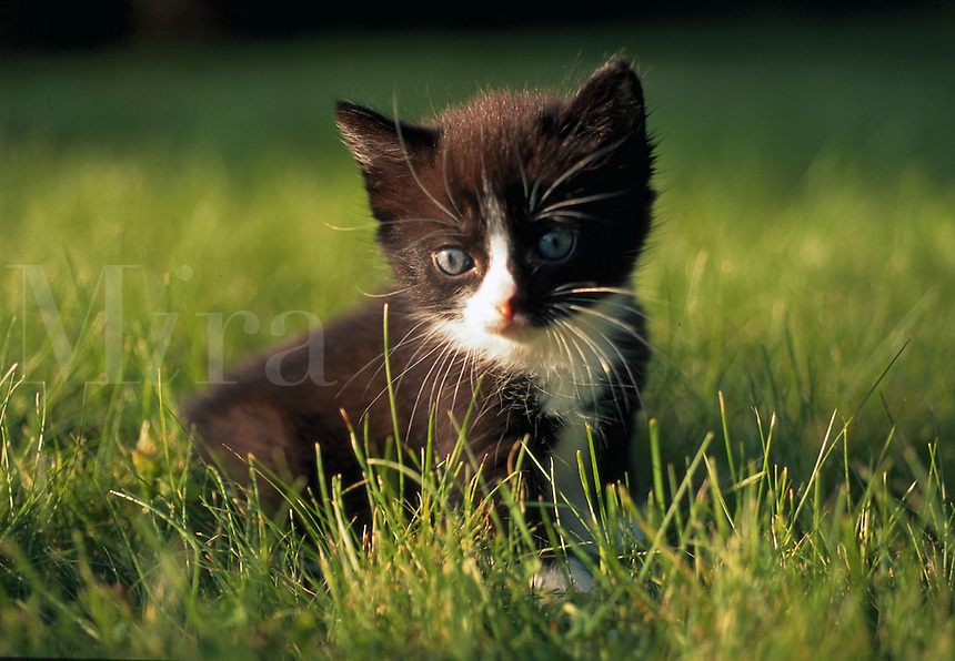 A black and white domestic shorthair kitten sitting in grass.