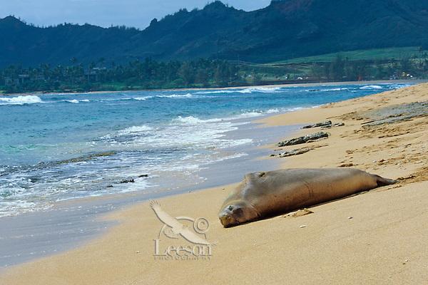 Hawaiian Monk Seal (Monachus schauinslandi) resting on beach on Kauai, Hawaii.  Endangered Species.