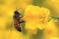 A bee on a rape flower.