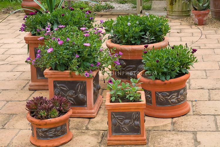 Container garden on patio with garden bench, pretty embossed terracotta pots with osteospermum, sempervivum succulents, salvia officinalis sage herb, petunias, etc, purple color theme