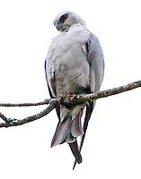 Mississippi kite adult. Four kites including two younger birds still showing spots on the wings were seen on May 15,2013 in the park. Mating was observed.