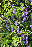 Liriope muscari 'Big Blue' in flower, perennial lilyturf ornamental grass shade garden groundcover in blue blooms