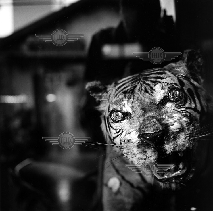 A stuffed tiger on display in a Chinese medicine shop in the coastal town of Phan Thiet.