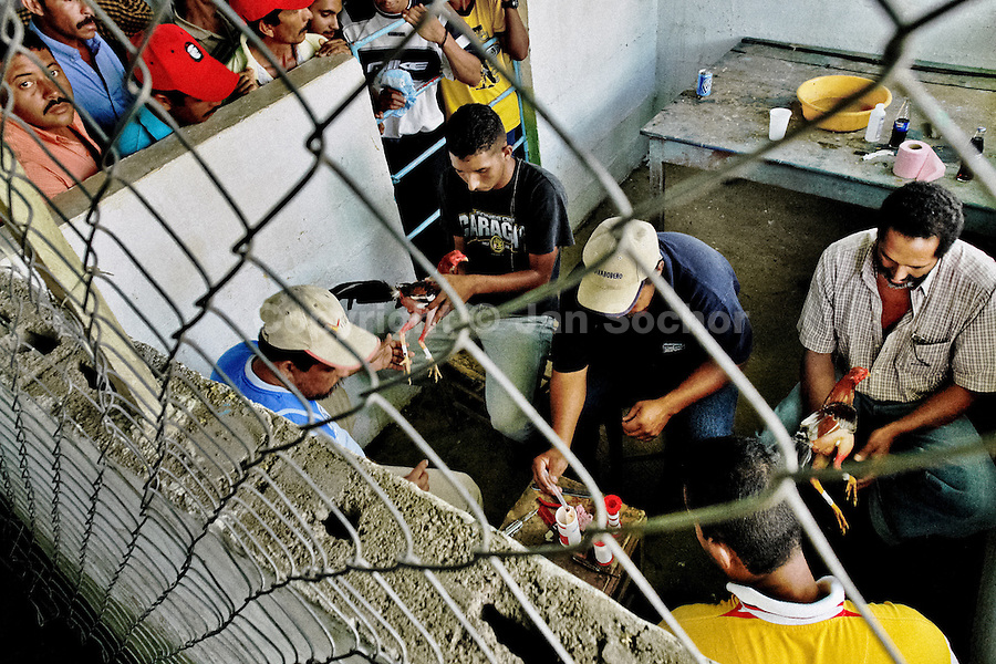 Venezuelan trainers prepare cocks for the match in Cabure, Venezuela, 28 May 2006. Cocks are equipped with tortoise-shell made gaffs attached to the bird's leg. The fight preparation of a cock (gaffs attachment, activation of the bird,?) is a complex procedure which may last half an hour or more. Cockfight is a widely popular and legal sporting event in much of Latin America. People take advantage of cock's natural, strong will to fight against all males of the same species. Birds are specially bred to increase their aggression and stamina, they are given the best of food and care. The fight is not intentionally to the death but it may result in the death of cocks very often because birds never stop fighting till they are dead.