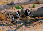 Two blackmith plovers stand in the shade of a fallen tree in Etosha National Park, Namibia.