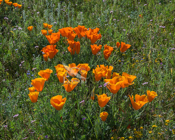 Wild California Poppies (Eschscholzia californica) growing among weedy filaree.  California.  Spring.