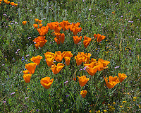 Wild California Poppies (Eschscholzia californica) growing among weedy filaree.  California.  Spring.