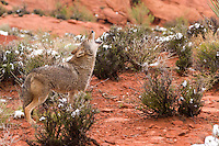 Coyote howling on the red rocks of Utah - CA