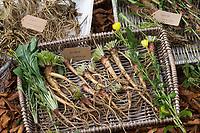 Gewöhnliche Nachtkerze, Wurzel, Wurzeln, Nachtkerze-Wurzel, Nachtkerze-Wurzeln, Nachtkerzen-Wurzel, Nachtkerzen-Wurzeln, Wurzelstock, Pfahlwurzel, Oenothera biennis, Common Evening Primrose, Evening-Primrose, Evening star, Sun drop, Root, roots, root-stock, taproot, Onagre, L'Onagre bisannuelle, Wurzel-Ernte, Wurzelernte im Herbst