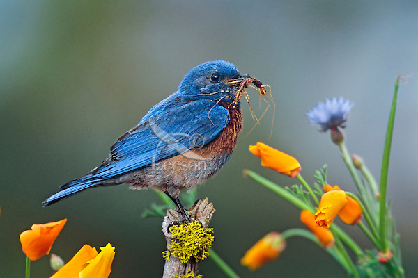 Male Western Bluebird (Sialia mexicana) with insect.  Western U.S., spring.