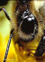 1B06-003b   Honeybee eye  -  Apis mellifera