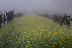 Mustards fields in Napa Valley, CA