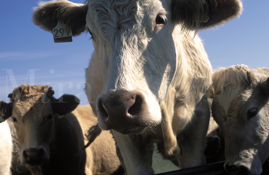 Cows looking at camera, close-up