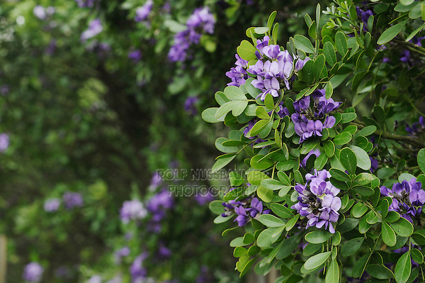 Texas Mountain Laurel (Sophora secundiflora), Comal County, Hill Country, Central Texas, USA