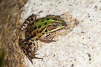 Italienischer Wasserfrosch, Wasserfrosch, Grünfrosch, Frosch, Frösche, Rana bergeri, Pelophylax bergeri, Pelophylax lessonae bergeri, Italian Pool Frog, frog, frogs, Korsika, Corsica
