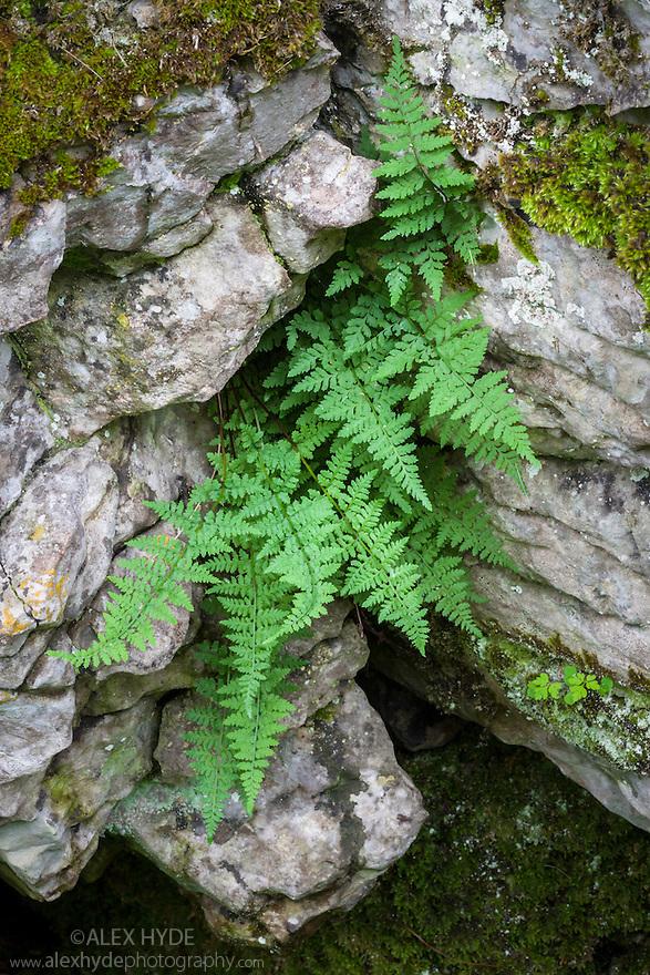 Brittle Bladder / Common Fragile Fern {Cystopteris fragilis} Lathkill Dale NNR, Peak District National Park, UK. June.
