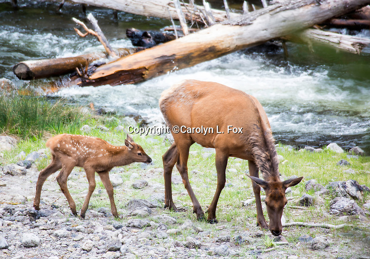 A cow elk and her young calf hang out in Yellowstone National Park.