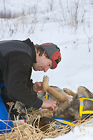 Musher Hans Gatt tends to dog care during a rest stop at mile 101 checkpoint during the 1000 mile Yukon Quest sled dog race, Interior, Alaska