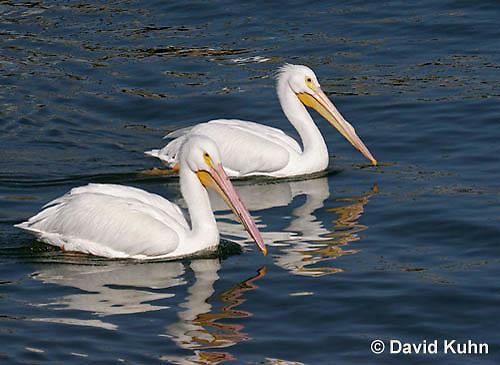 0727-0803  American White Pelican, Pelecanus erythrorhynchos © David Kuhn/Dwight Kuhn Photography.