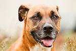 Domestic Dog (Canis familiaris) female, Santa Cruz, Monterey Bay, California