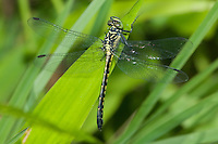 Southern Pygmy Clubtail (Lanthus vernalis) Dragonfly - Female Teneral, Ward Pound Ridge Reservation, Cross River, Westchester County, New York