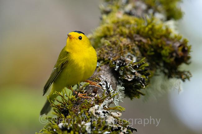 Wilson's Warbler (Cardellina pusilla). Multnomah County, Oregon. April.