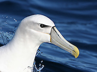 Shy Albatross in Tasmania