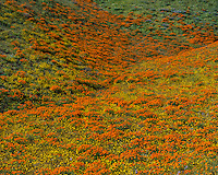 Wildflowers--mostly California poppies and goldfields--cover hills near the Antelope Valley California Poppy Reserve.  March.