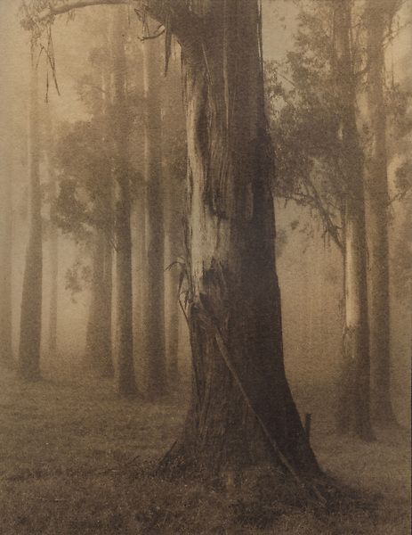 Morning Light on Mountain Ash<br /> Dandenong Ranges<br /> Cyanotype + coffee toning