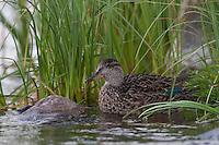 Krickente, Krick-Ente, Weibchen, Anas crecca, green-winged teal