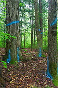 Trees marked for removal with blue paint in section 69 of the Northeast Swift Timber Project along Forest Road 209 in the White Mountain National Forest of New Hampshire USA.