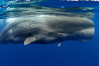 sperm whale, Physeter macrocephalus, large male with damaged or deformed jaw and rake marks, Pico Island, Azores, Portugal, Atlantic Ocean