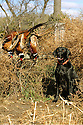 00975-016.04 Labrador Retriever: Black Lab is posing with three bagged ring-necked pheasants.  Hunt, roosters.